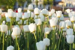 Tulipes blanches au coucher du soleil, Images libres de droits