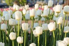 Tulipes blanches au coucher du soleil, Photos stock