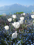 Tulipes blanches au lac geneva Images stock