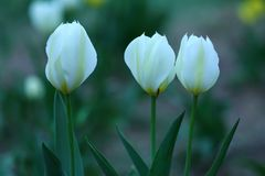 Tulipes blanches au printemps Photos libres de droits