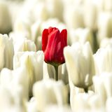 Tulipes blanches avec dans l'une tulipe rouge moyenne images stock