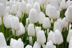 Tulipes blanches avec des baisses de l'eau Photos libres de droits