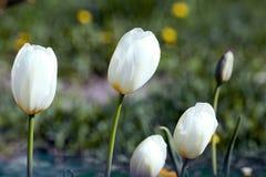 Tulipes blanches avec les fleurs jaunes Photographie stock