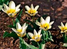 Tulipes blanches avec un centre jaune Photos libres de droits