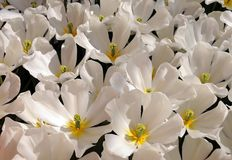 Tulipes blanches d'ouverture Photographie stock
