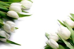 Tulipes blanches dans deux coins, d'isolement sur le fond blanc Images stock