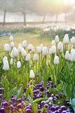 Tulipes blanches dans la lumière de matin, jardin Stromovka de ressort à Prague Photo libre de droits