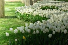 Tulipes blanches dans le jardin d'agrément Photographie stock libre de droits