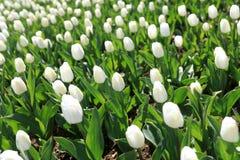Tulipes blanches dans le parterre photographie stock