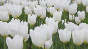 Tulipes blanches dehors dans la lumière molle mouvement Righ-à-gauche clips vidéos