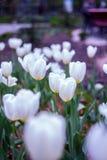 Tulipes blanches en parc. Photos libres de droits