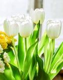 Tulipes blanches en soleil photo stock