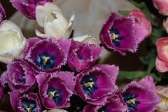 Tulipes blanches et pourpres Photo libre de droits