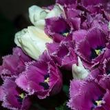 Tulipes blanches et roses Photos libres de droits