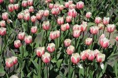 Tulipes blanches et roses merveilleuses photo libre de droits