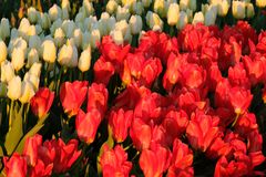 Tulipes blanches et rouges photo libre de droits