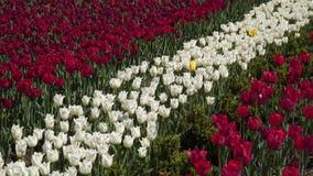 Tulipes blanches et rouges banque de vidéos