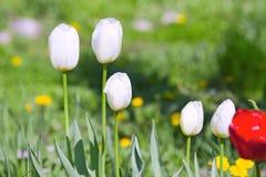 Tulipes blanches et rouges avec les fleurs jaunes Photo libre de droits