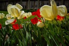Tulipes blanches et rouges dans la lumière arrière images libres de droits