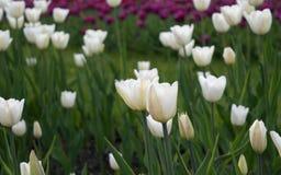 Tulipes blanches fleurissant dans le lit de fleur Photos libres de droits