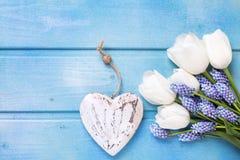 Tulipes blanches fraîches et h de fleur de muscaries et décoratif bleu Image stock