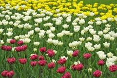 Tulipes blanches, jaunes et violettes Images libres de droits