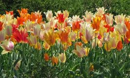 Tulipes blanches, oranges, rouges, et jaunes assorties photo libre de droits