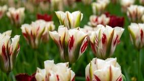 Tulipes blanches, rouges et vertes de Viridiflora dans le jardin photographie stock