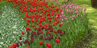 Tulipes blanches, rouges, noires et roses photo libre de droits