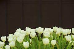 Tulipes blanches sur le backgroound foncé Photographie stock