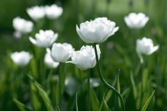 Tulipes blanches sur le champ Photographie stock libre de droits
