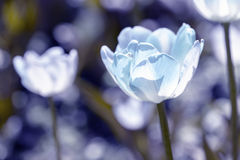 Tulipes blanches sur le champ Images stock