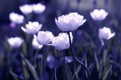 Tulipes blanches sur le champ Photographie stock