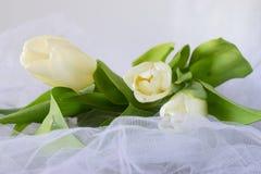 Tulipes blanches sur un tissu de lumière blanche Proue d'étoile bleue avec la bande bleue (enveloppe de cadeau) sur le fond blanc Photos stock