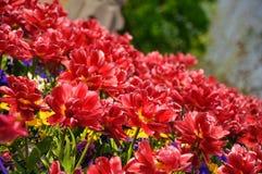 Tulipes blossing rouges en parc de Keukenhof en Hollande photos stock