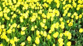 Tulipes colorées à Istanbul banque de vidéos