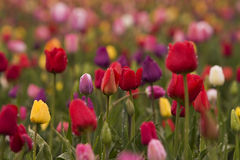 Tulipes colorées images stock