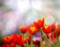 Tulipes colorées Photographie stock libre de droits