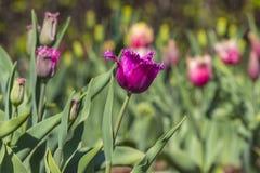 Tulipes colorées Image libre de droits