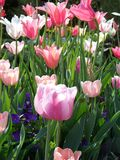 Tulipes colorées Photographie stock libre de droits