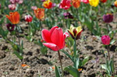 Tulipes colorées Photos stock