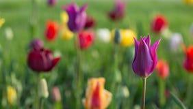Tulipes colorées au printemps Photos libres de droits