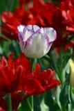 Tulipes colorées au printemps photo libre de droits