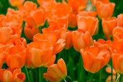 Tulipes colorées.  Belles fleurs de ressort. Paysage de ressort Photos stock
