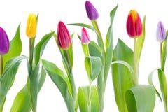 Tulipes colorées d'isolement sur le blanc Image stock