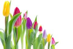Tulipes colorées dans une ligne Images stock