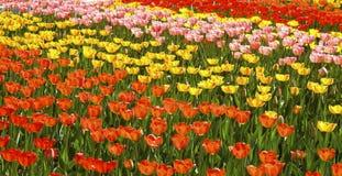 Tulipes colorées de fond Images stock