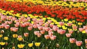 Tulipes colorées de fond Image stock