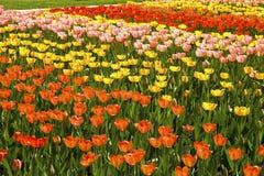 Tulipes colorées de fond Image libre de droits