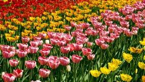 Tulipes colorées de fond Images libres de droits
